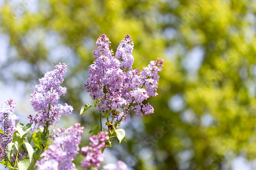 Tuinposter Lilac lilac flower in nature