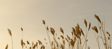 Bulrush Against The Sky