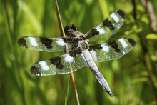 Twelve Spotted Skimmer Dragonfly In A New Hampshire Bog.