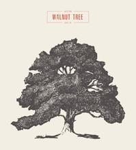 High Detail Vintage Walnut Tree Hand Drawn, Vector