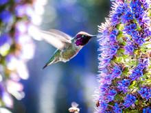 Male Anna's Hummingbird With B...