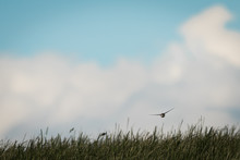 Distant View Of Swallow Swoopi...