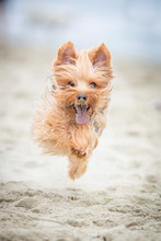 Yorkshire Terrier Running On T...