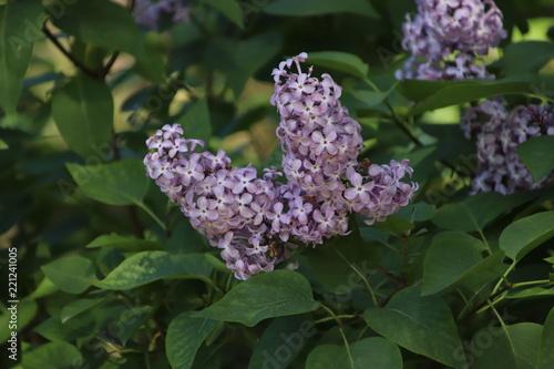 Foto op Canvas Lilac flores morado
