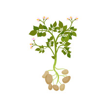 Potato Plant With Green Leaves And Small Blooming Flowers. Raw Vegetable. Organic Farm Product. Flat Vector Design