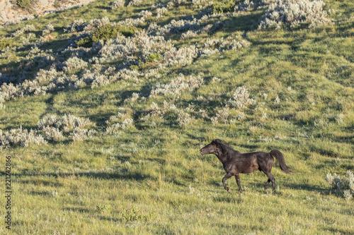 Wild Mustangs of North Dakota