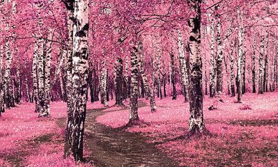 Fototapeta Brzoza Pink birch trees in the park