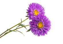 Flower Lilac Asters Isolated