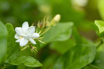 Obraz na płótnie Canvas Jasmine flower is a symbol for Thailand Mother's Day.