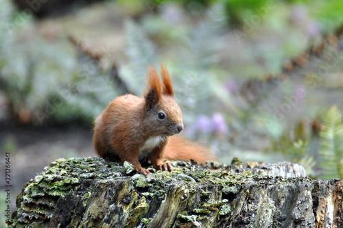 Foto op Plexiglas Eekhoorn Eichhörnchen im Wald