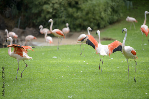 Flock of flamingo birds is grazing on the grass.