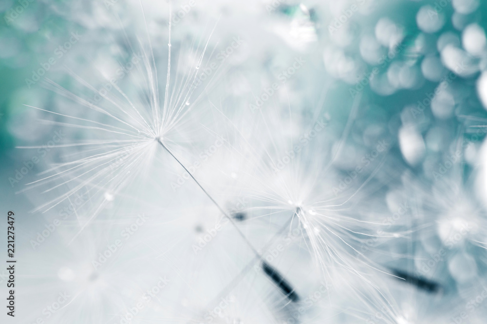 Fototapety, obrazy: a drop of water on a dandelion. dandelion on a blue background with  copy space close-up