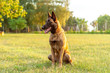 canvas print picture - Portrait of a Malinois Belgian Shepherd dog sitting on the grass