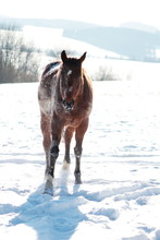 Brown Horse Rolling In The Snow