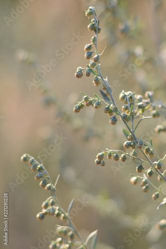 Fotografia  Wormwood. Flowering absinthium. Medicinal plant.