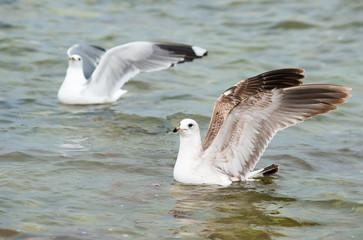 Seagulls on sea water