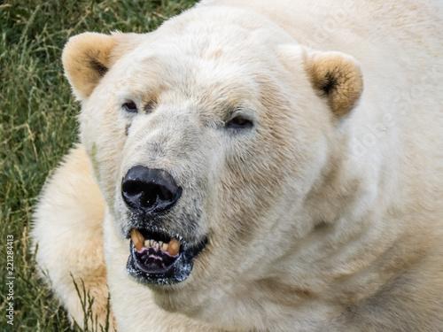 Tuinposter Ijsbeer Polar Bear