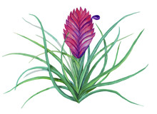 Tropical Flower Tillandsia Isolated On White Background. Stock  Watercolor Illustration.