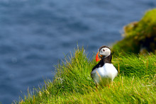 Atlantic Puffin (Fratercula Ar...
