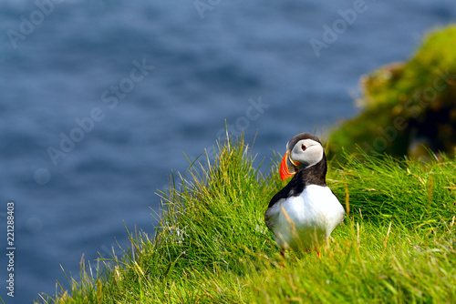 Atlantic Puffin (Fratercula arctica) stood on cliff