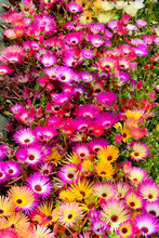 A Lot Of Mix Livingstone Daisy, Colorful Flower In Garden