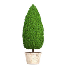 Cupressus In A Pot On A White Background
