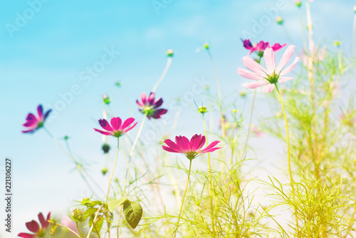 Cadres-photo bureau Bleu clair Pink wild flowers against the background of the sky, bottom view, toned. Flower background, soft focus