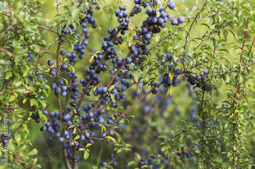 Photo ripe fruits of Prunus spinosa (blackthorn, or sloe) on branches in autumnThe fruits of blackthorn (Prunus spinosa)