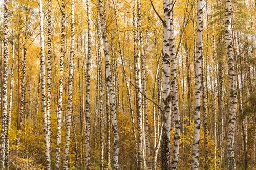 jesieni-zoltej-brzozy-lasu-krajobrazu-tlo