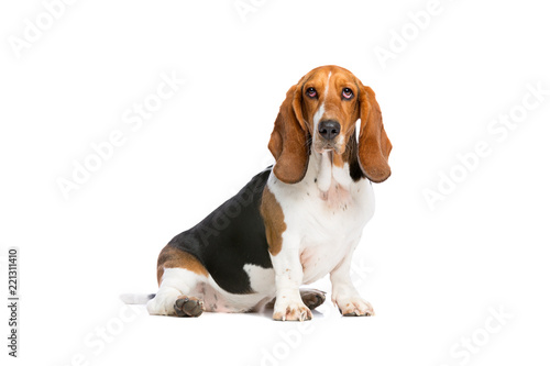 basset hound sitting in front of a white background Wallpaper Mural