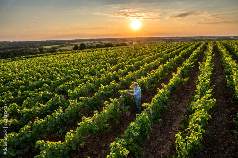 Fototapety, obrazy: Top view. a senior winegrower works in his vines at sunset