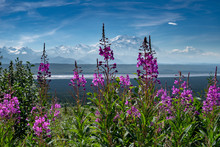 Fireweed Wildflowers In The Fo...