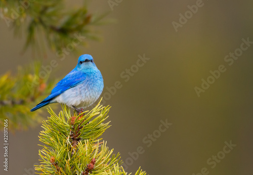 Vászonkép Mountain Bluebird