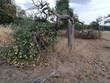 Apfelbaum nach Hitzewelle