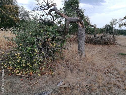 Apfelbaum nach Hitzewelle Wallpaper Mural