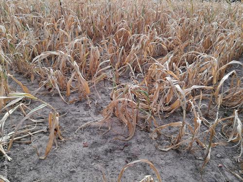 Valokuva Maisfeld bei Dürre und Hitze