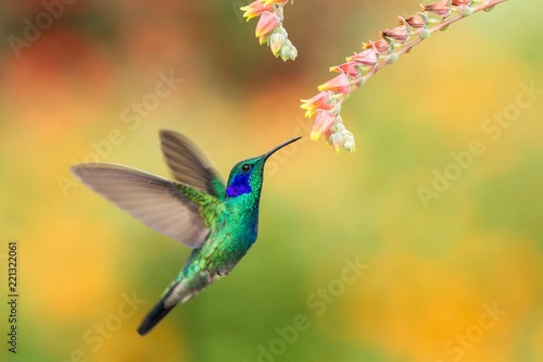 Photo Stands Bird Green violetear hovering next to red and yellow flower, bird in flight, mountain tropical forest, Costa Rica, natural habitat, beautiful hummingbird sucking nectar, colouful background