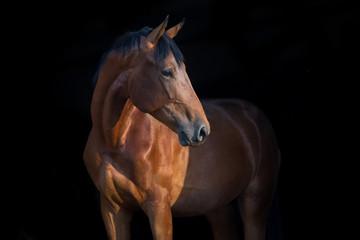 Horse portrait close up on black background