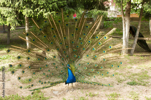 peacock male with open tail