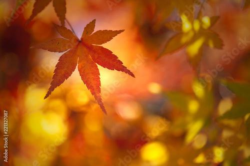 Colorful sunny autumn season maple leaf on golden bokeh background Wallpaper Mural
