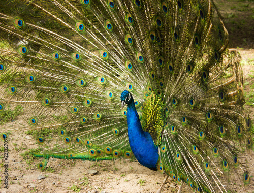 Foto op Aluminium Pauw peacock male with open tail