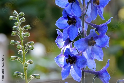 Canvas-taulu The flowers of the blue delphinium shine in the sun in the garden close-up