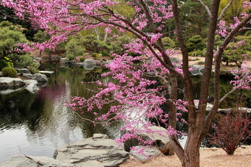 Panel Szklany Wodospad Cherry Blossom in Denver, Colorado. Springtime and Romantic.