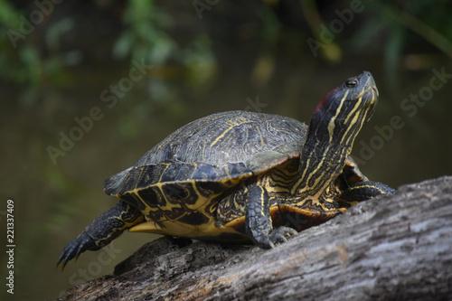 Foto op Aluminium Schildpad Stunning Capture of a Turtle Balanced on a Log