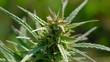 close up - medical marijuana blooming growing in the field, slowmotion, agriculture concept