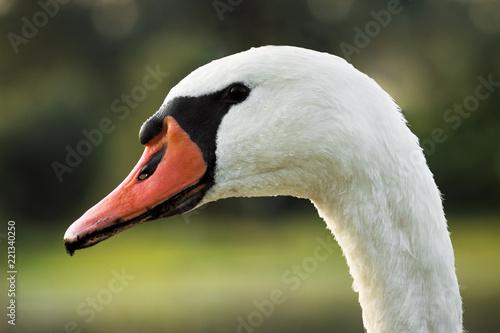 Keuken foto achterwand Zwaan white swan animal portrait