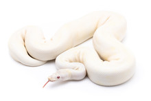 Ball Python Snake Reptile On White