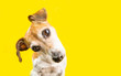 Asking surprised curious lovely dog Jack Russell terrier portrait on yellow background. Bright emotions. Adorable pup muzzle