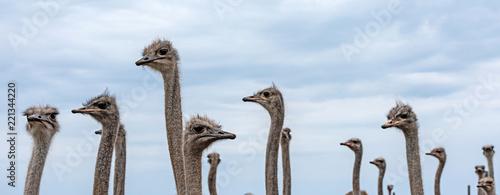 Staande foto Struisvogel Vogel Strauß