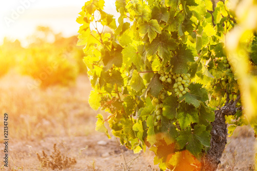 Papiers peints Vignoble early morning on a grape farm - the first rays of the sun shine on the vineyard